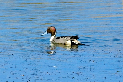 022117 Northern Pintail, Pea Island Reserve, National Seashore, OBX