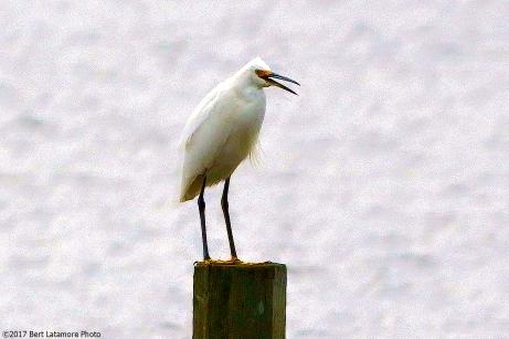 022217 Snowy Egret, Whalehead Club, OBX