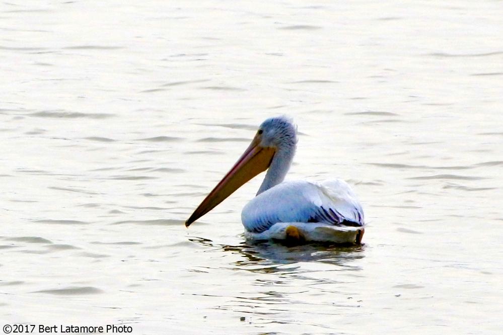 022317 Pea Island 08 White Pelican