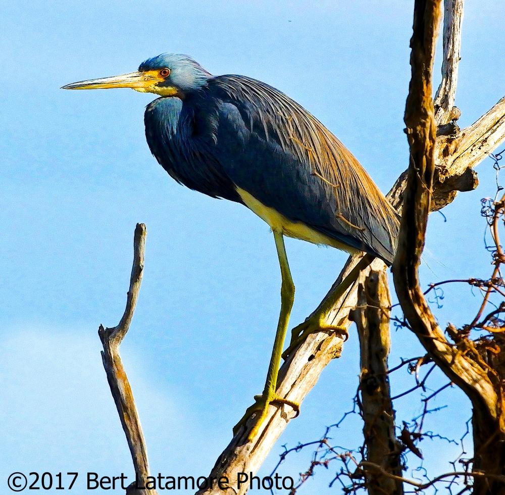 022317 Pea Island 13 Tri-Color Heron