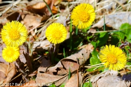 040117 Coltsfoot, Keyser Run Fire Road, near Little Devils Stairs.jpg