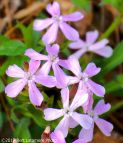 041617 Mary's Rock Trail pink wildflowers 2