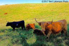 071017 MP 263 Highland Cows Blue Ridge Pky