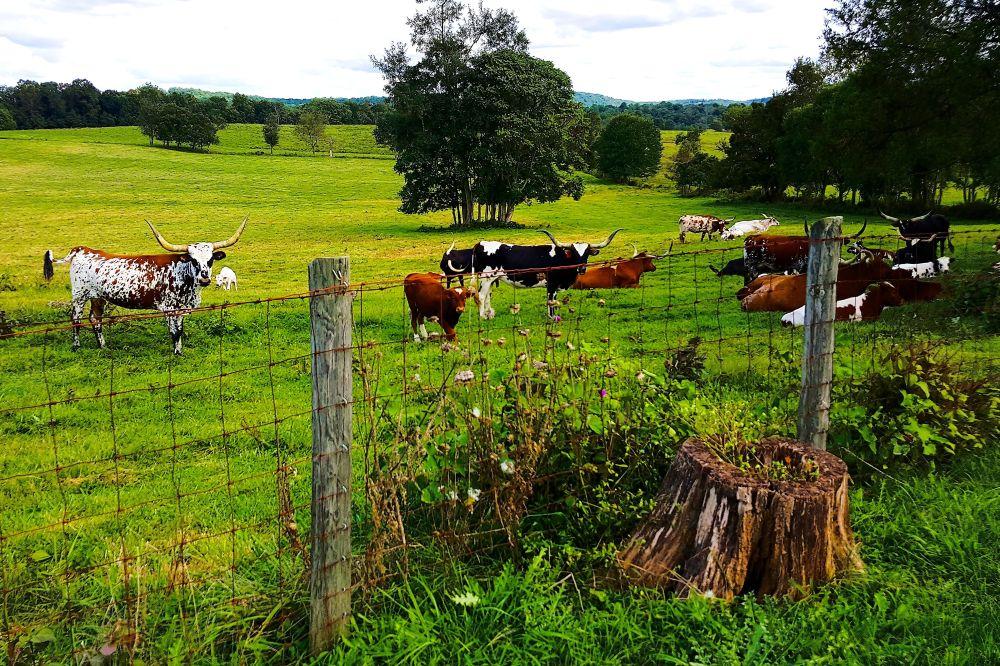 Leeds Manor Loop 007 African cattle
