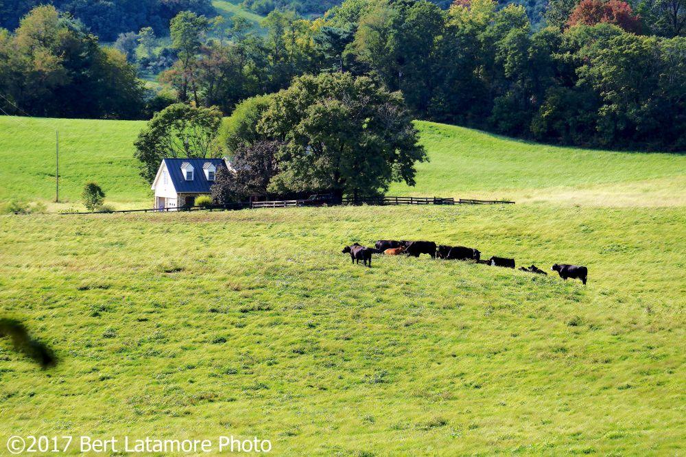 Leeds Manor Loop 26 View with cattle, Ben Venue